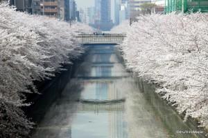 Meguro River Sakura (2013)