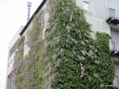 Wisteria in Oyokogawa Park