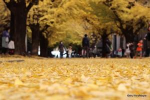 Tokyo University Ginkgo Trees