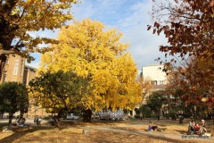 The Famous Todai Ginkgo Tree