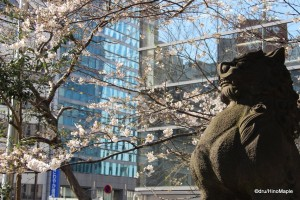 Sakura at Hie Shrine