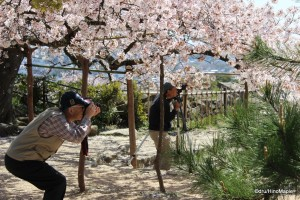 Sakura at Hikone Castle