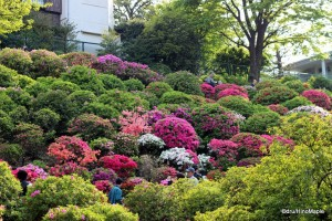 Nezu Azalea Festival (Taken from the public areas)