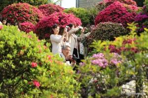 Nezu Azalea Festival - Typical Scene in the Garden