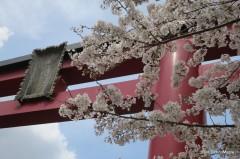 Sakura at Kameido Tenjin