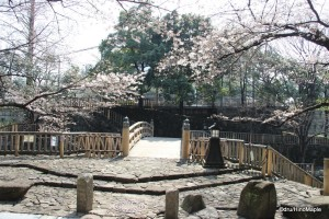 Sakura at Oji