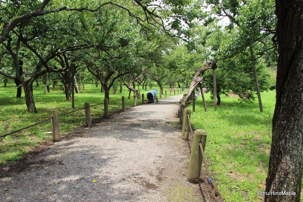 Tozai Plum Trees