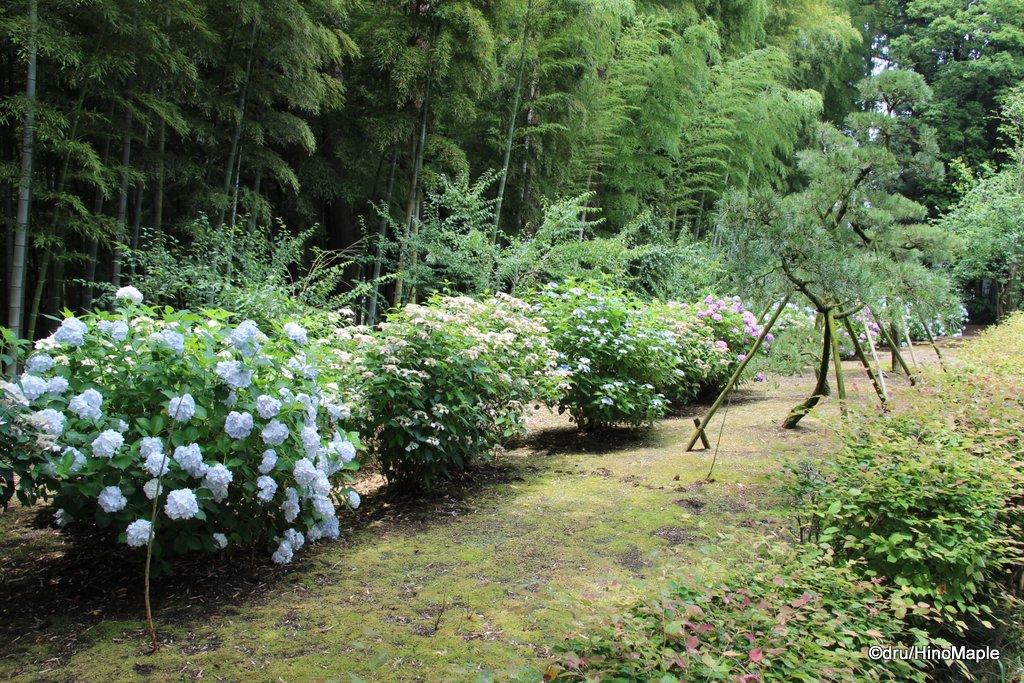 Hydrangeas in Kairakuen