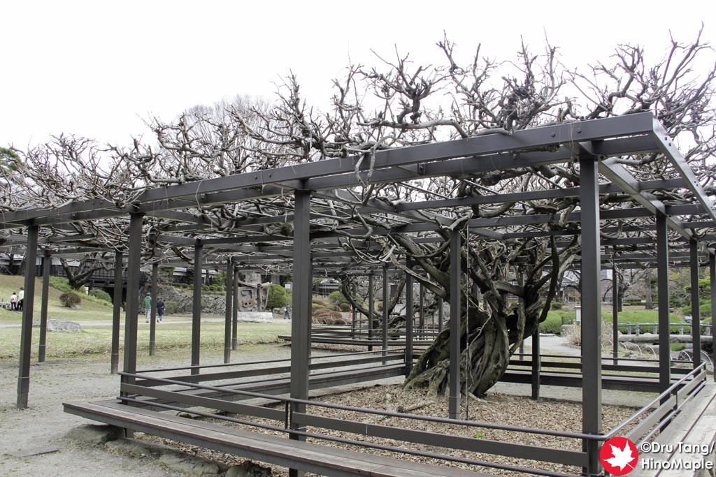 Wisteria at Takashima Castle