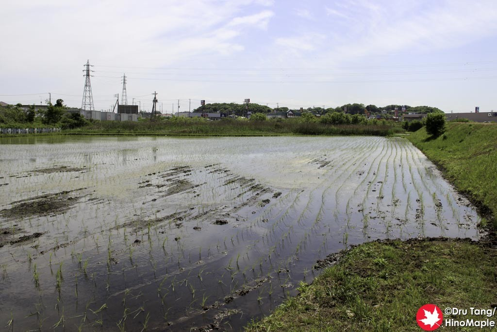 Rice Field in Sakura City